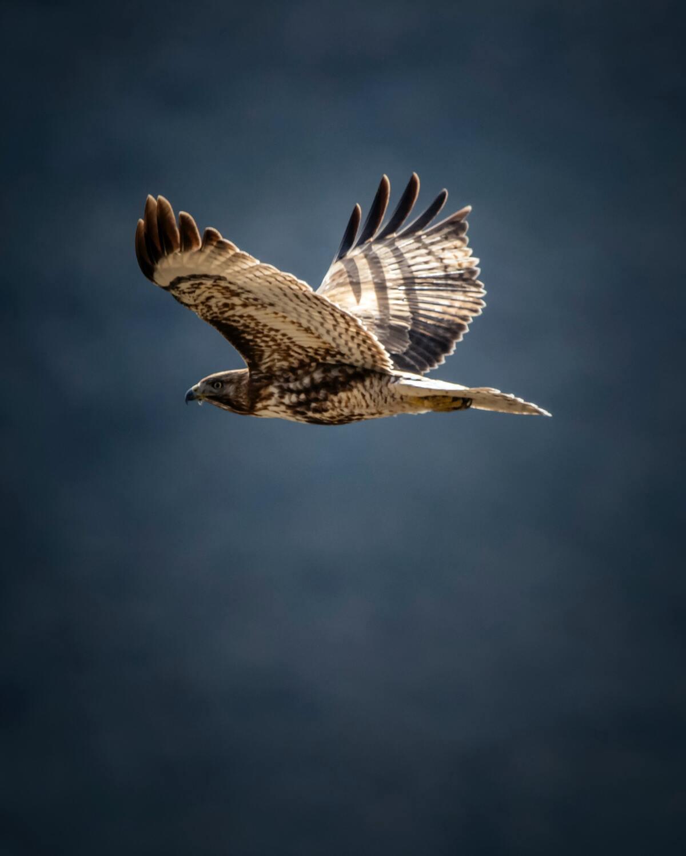 Hawk as chicken predator