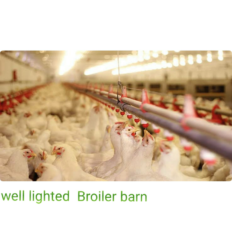 Influence of lighting in broiler growth
