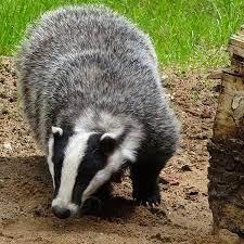 Badger as chicken predator