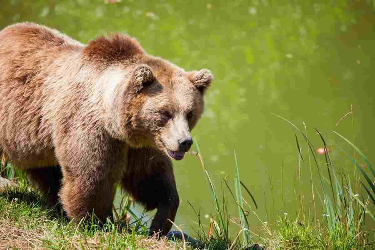 Bear as chicken predator