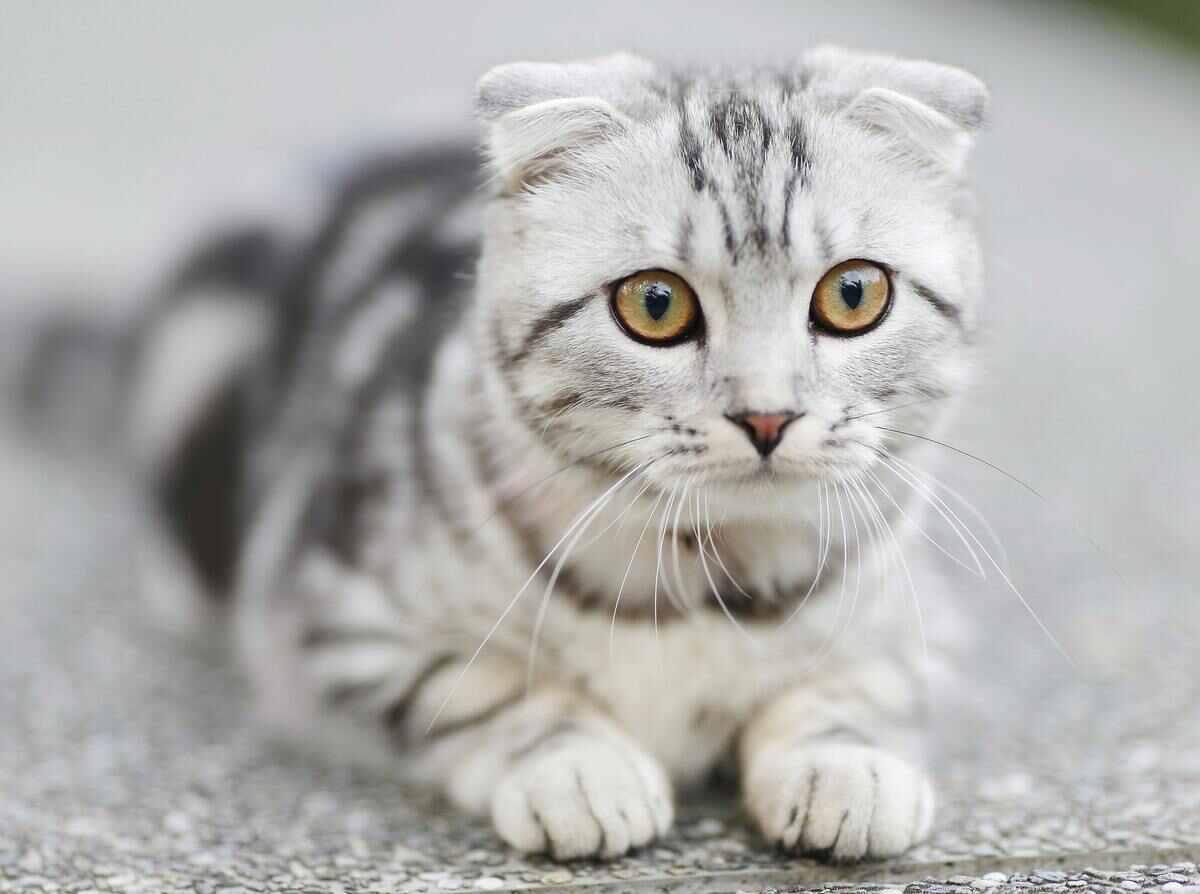 cat as chicken predator