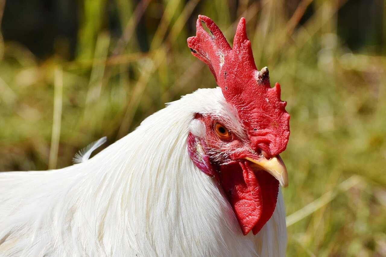 Broiler Cock