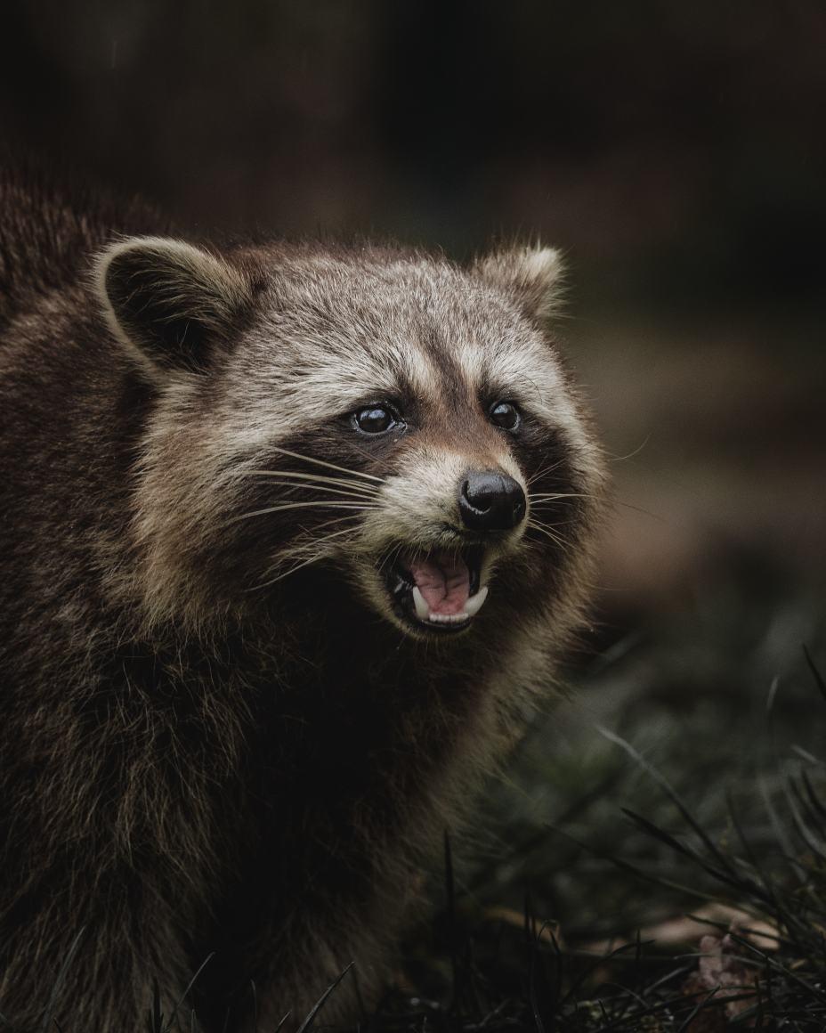 Raccoon as chicken predator