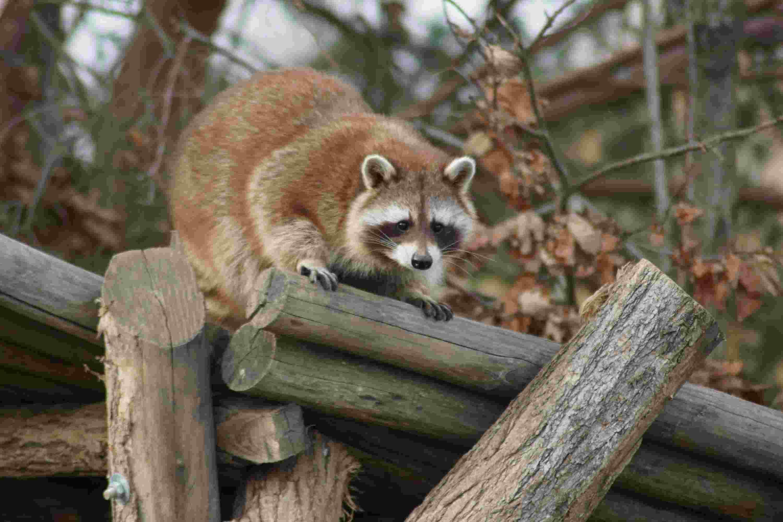 raccoon entering into a chicken coop