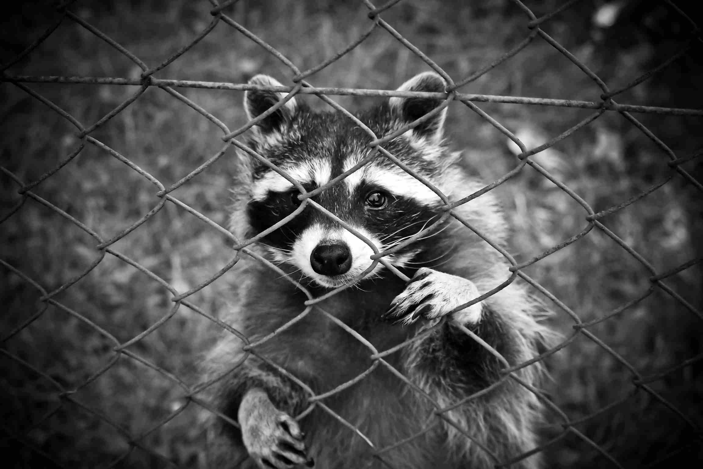 strong iron net will keep your chicken safe from raccoon