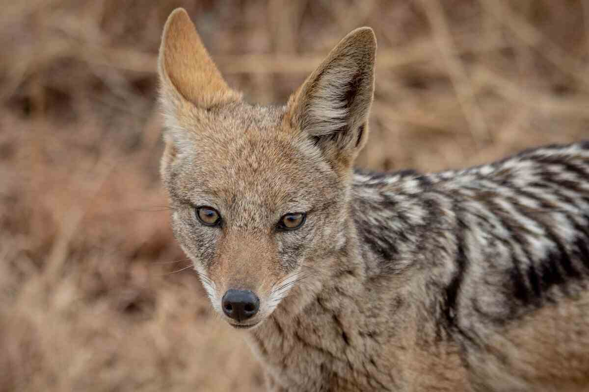 Coyotes as chicken predators