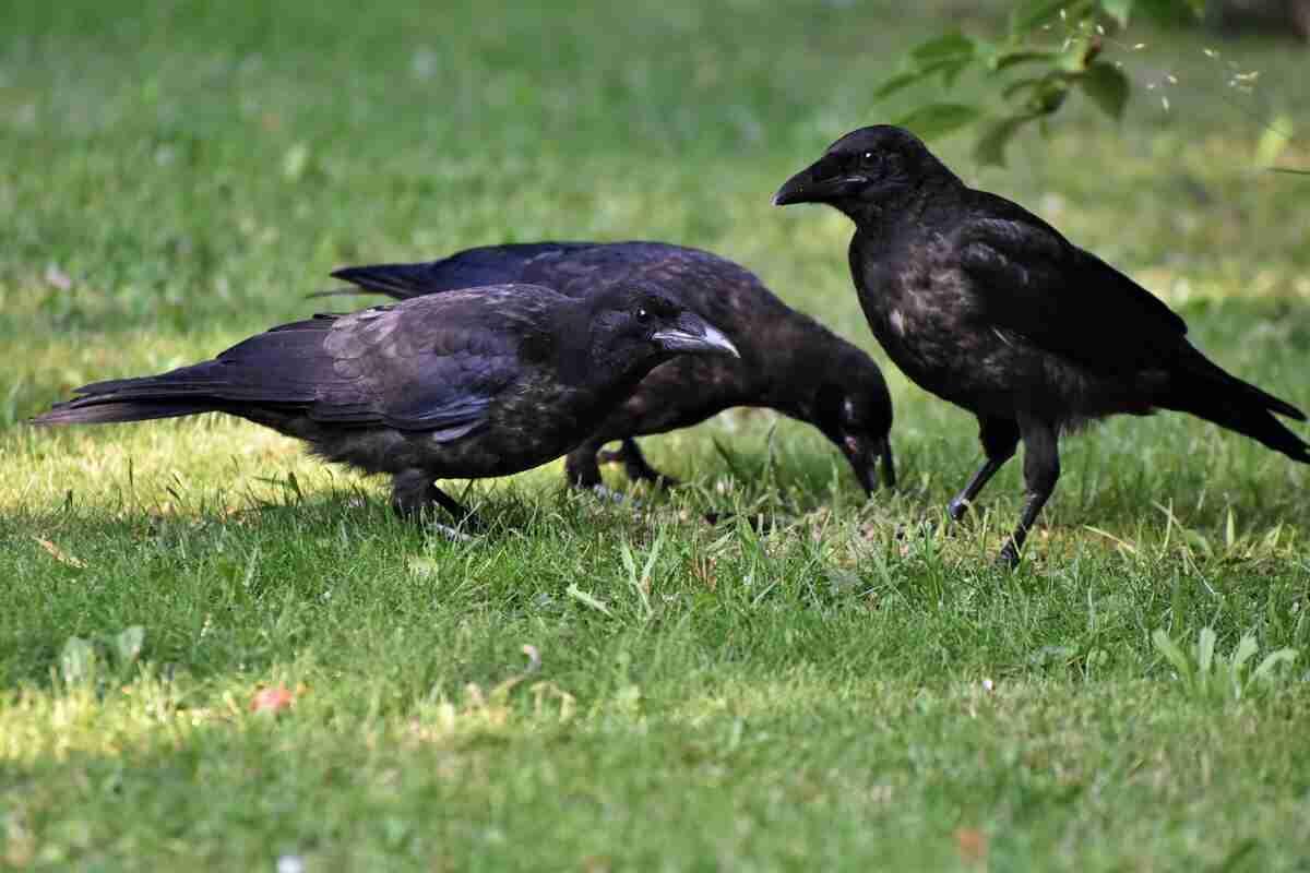 Crows as chicken predators