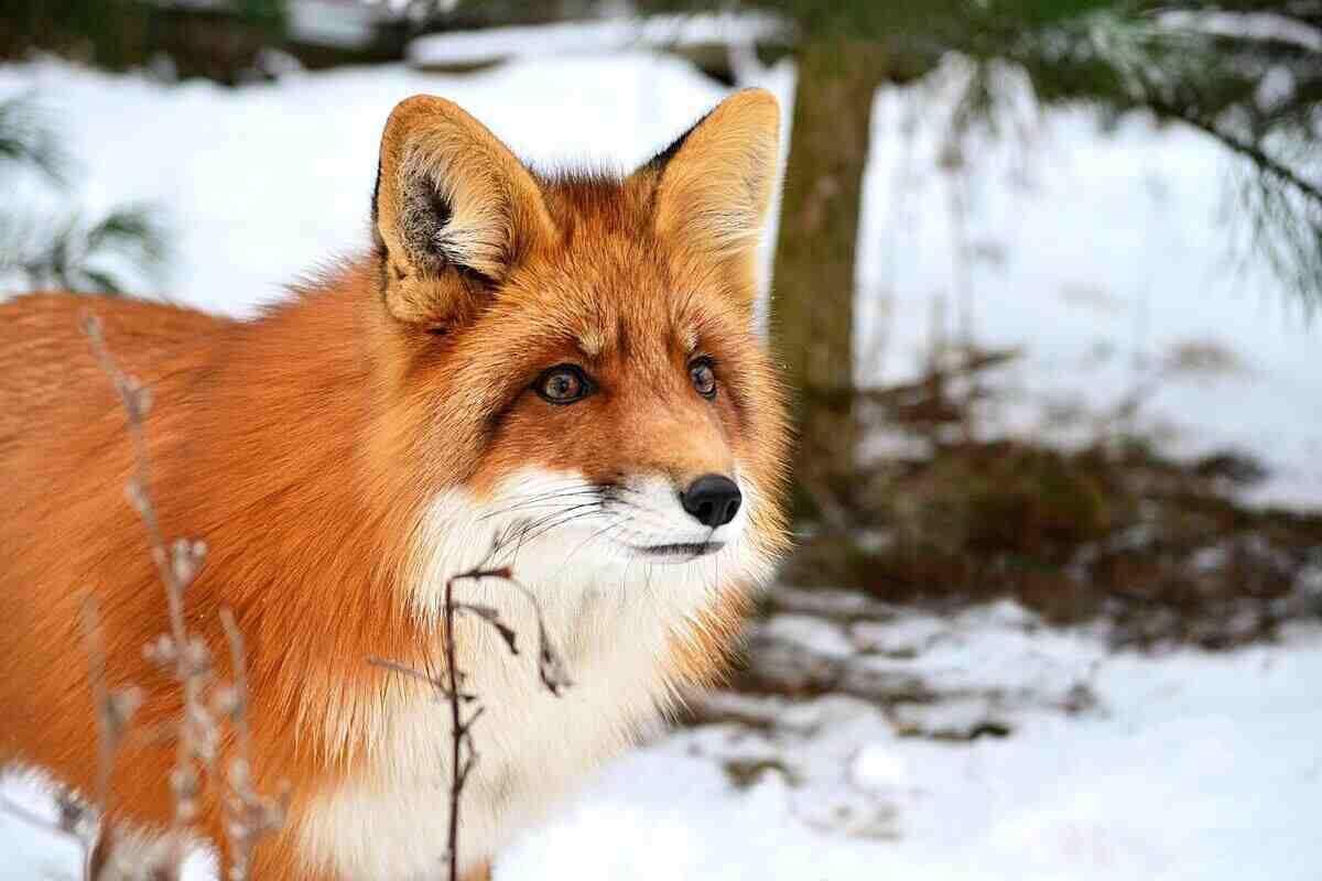 Fox as chicken predator