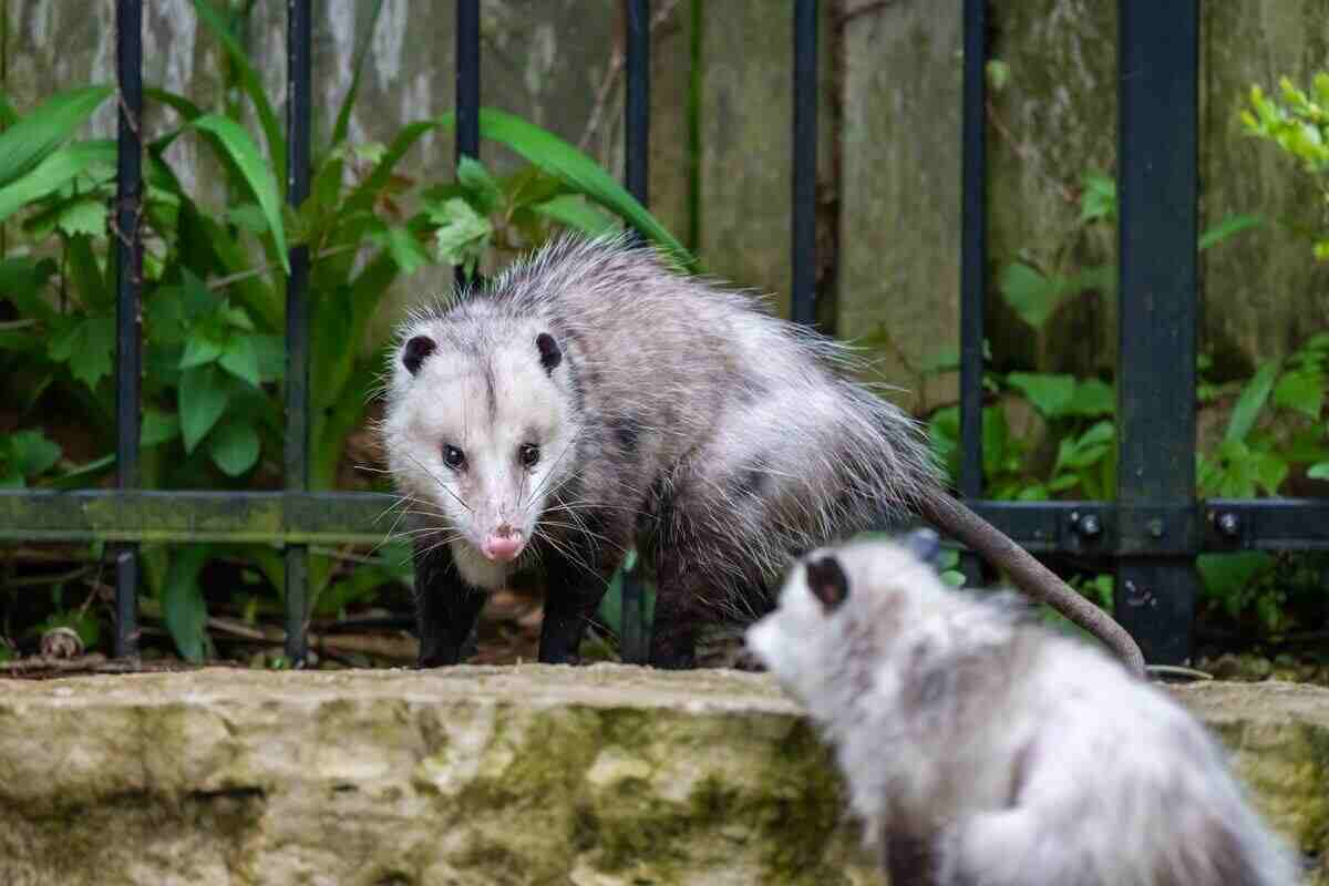 Opossum as chicken predator