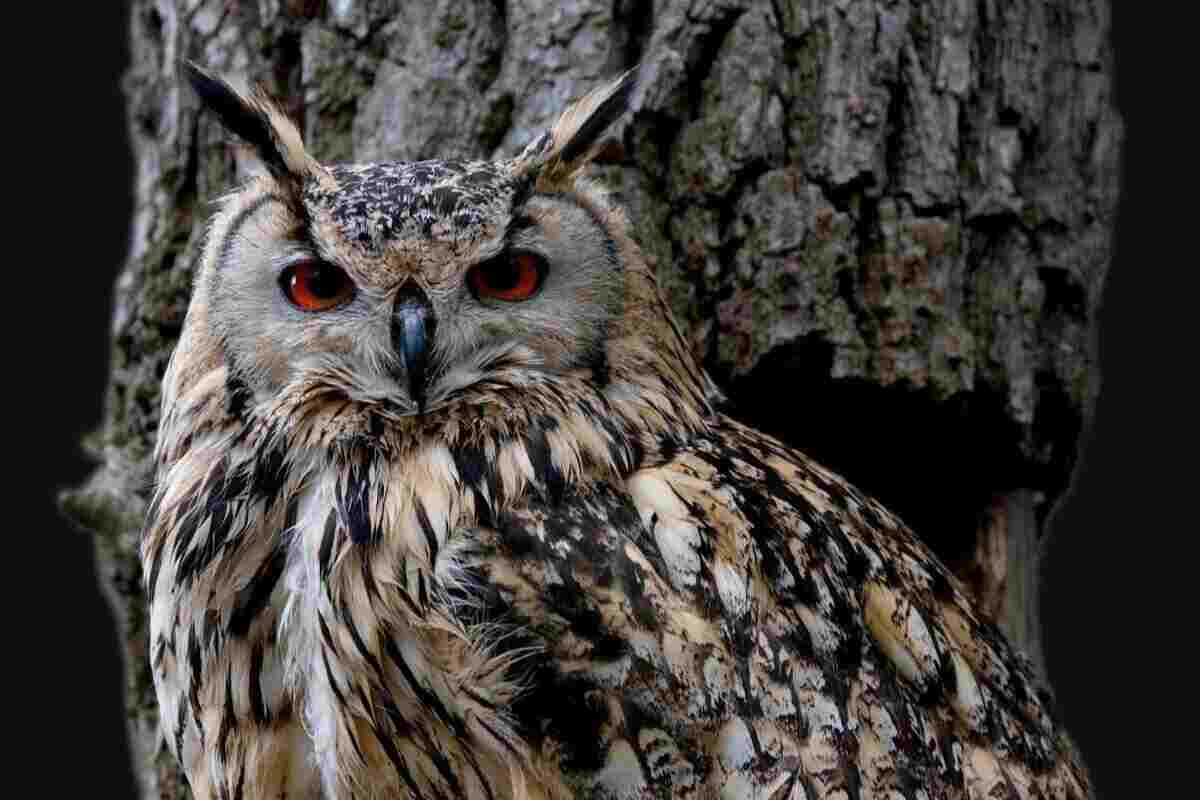 Owl as chicken predator
