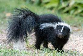 skunk as chicken predator