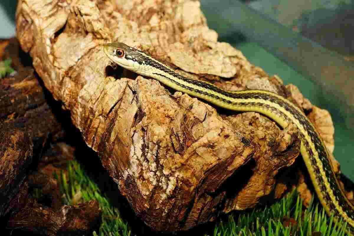 snake as chicken predator